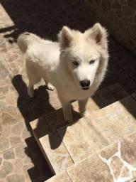 Cachorro (Husk siberiano)
