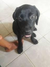 Labrador puro sangue