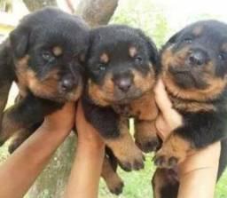 Rottweiler Lindos Filhotes