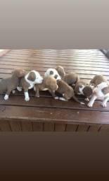 Filhotes de Pitbull red nose