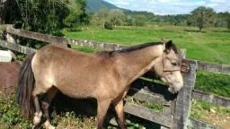 Vende-se Cavalo Pura Marcha Picada