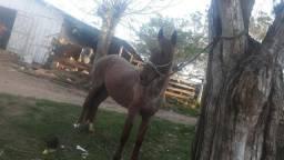 Cavalo cuiudo