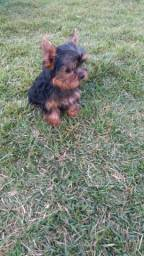 Canil Canaã- Yorkshire Terrier (27)997274395