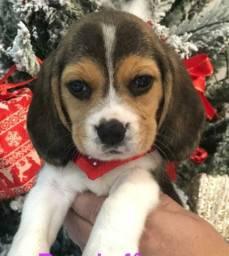 Beagle amor sem fim
