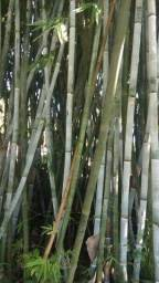 Bambu taquara para pipas e artesanato