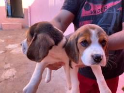 Pet da madre vende filhotes de beagle