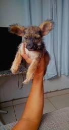 Vende-se filhote de poodle (moro em Salinas MG)