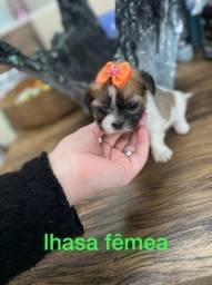 Lhasa apso femea baby