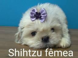 Lindas femeas de Shihtzu