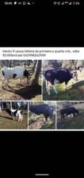 9 vacas leiteiras