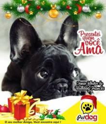 Promoção de Natal - de filhotes de Bulldog Francês - (Whats 82 99671 0455)