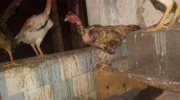 Compro galinha do ovo azul