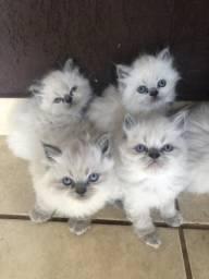 Filhote de gato Persa Himalaia com siamês