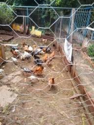 Frango e galinha