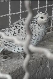 Comércio de Aves e Ovos - Codornas Bob White e Codornão