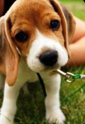Filhote de beagle tricolor