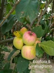 Mini árvores frutíferas e ornamentais para vaso ou solo