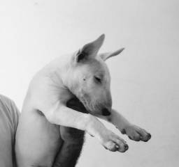Bull Terrier English