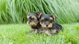 Lindos Filhotes de Yorkshire terrier Mini