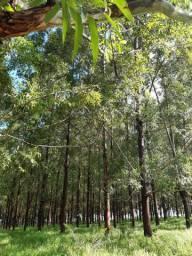 Vendo Mata de Eucalipto 500 Árvores - Preço a Combinar