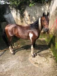 Vendo cavalo pampa registrado