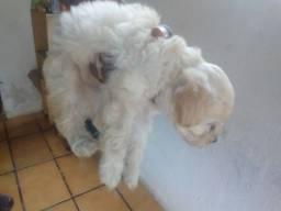 FILHOTE Poodle LINDO