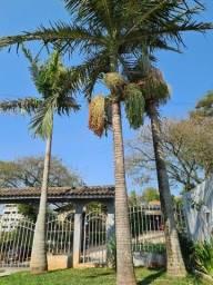 Vendo 3 palmeiras real com 10 anos.