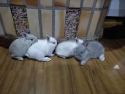 Filhotes de mini coelhos Netherland!