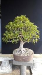 Bonsai Ficus Nerifolia