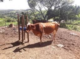 Vaca jersolando