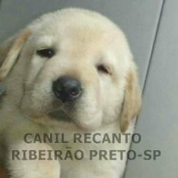 Canil Recanto! Lindos Filhotes de Labrador com Pedigree !