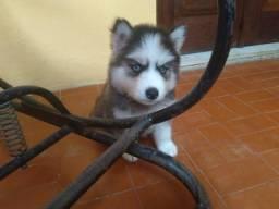Lindo Filhote macho de husky siberiano a venda em Garanhuns