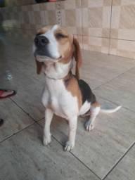 Procuro namorado beagle
