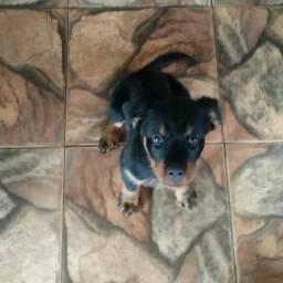 Filhote de 5 meses de Rottweiler