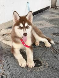 Troca ou venda Filhote fêmea de husky venda ou troca