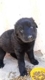 Vende-se filhotes pasto alemão capa preta