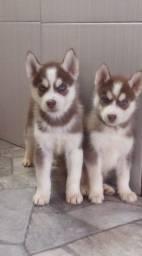 Lindos filhotes de husky siberiano com pedigree e vacinas importadas