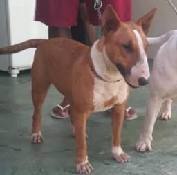 Bull Terrier Fêmea Baio
