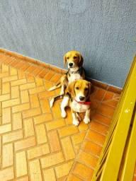 Beagles fêmea