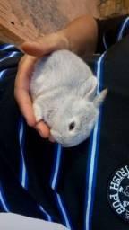 Vende-se filhotes de coelhos nova Zelândia