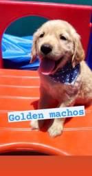 Macho golden retriever