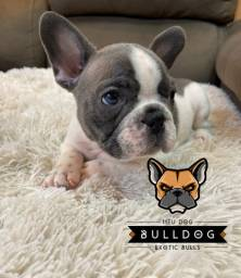Bulldog frances cinza blue