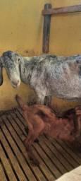 Vendo uma cabra e um bode  reprodutor