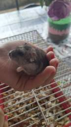 Hamster Russo anão
