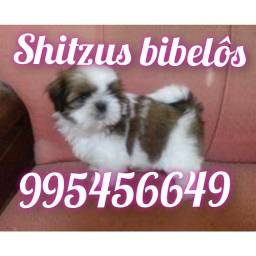 Título do anúncio: Shitzu mini garantia  alîdo ao bomprre
