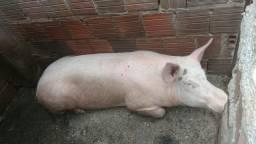 Vendo porco gordo