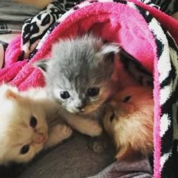 Lindos bebês de gatos persas