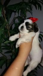 Shitzu fêmea minizinha tricolor