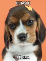 Beagle na mk dr pet