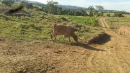 venda de vacas de leite